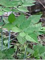 Rubus nivieus 2zz.jpg