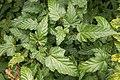 Rubus palmatus var. palmatus 01.jpg