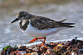 Ruddy Turnstone (Arenaria interpres) (16333780232).jpg