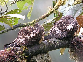 Rufous-bellied Nighthawk.jpg