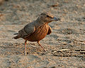 Rufous-tailed Lark (Ammomanes phoenicurus) in Kawal WS, AP W IMG 2009.jpg