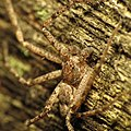Running Crab Spider (30664492782).jpg