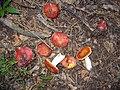 Russula rosacea 497648.jpg
