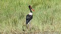 Saddel-billed Stork (Ephippiorhynchus senegalensis) (46497053742).jpg