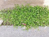 Sagina procumbens 2005.05.08 12.49.10-p5080008.jpg