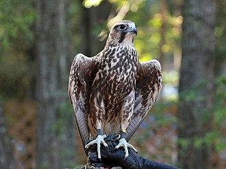 Saker falcon - Image: Saker Falcon RWD3