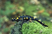 A yellow-spotted fire salamander