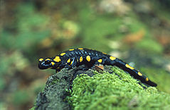 An individual of a fire salamander