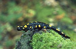 Salamandre commune(Salamandra salamandra)