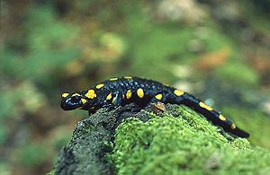 Species complex - Salamandra salamandra