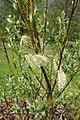 Salix lapponum kz18.jpg