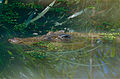 Saltwater Crocodile (Crocodylus porosus) (9999031144).jpg