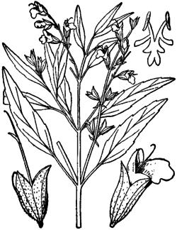 Salvia reflexa drawing 1.png