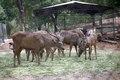 Sambar Deer at Indroda Dinosaur Park.tif