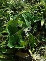 Sanguinaria canadensis 2019-04-16 0259.jpg
