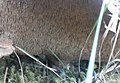 Sarcodon imbricatus 5252324.jpg