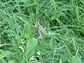 Sauterelle verte Aguessac D29 (1).jpg