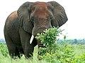 Savanna Elephant (Loxodonta africana) bull ... (51131992674).jpg