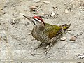 Scaly-bellied Woodpecker (Picus squamatus) (39638088881).jpg