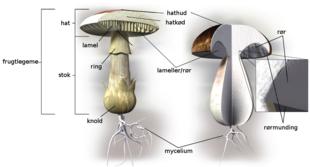 hvorfra spredes svampesporer