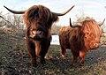 Schotse hooglander, Highland cattle.jpg