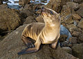 Sea Lion Pup on the rocks.jpg