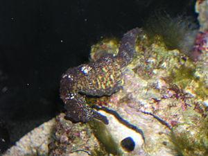 Hippocampus kuda - A common seahorse anchored to coral
