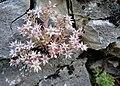 Sedum hispanicum, Crassulaceae.jpg
