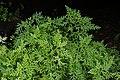 Selaginella braunii 7204.jpg