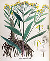 Senecio fuchsii — Flora Batava — Volume v17.jpg