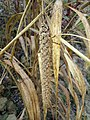 Setaria italica subsp. italica sl16.jpg