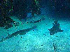 Sharks at the Sydney aquarium.jpg