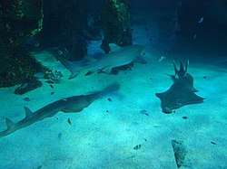 Sharks at the Sydney aquarium.jpg