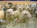Sheep (3972210334) (2).jpg