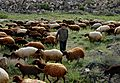 Sheep 0005.jpg