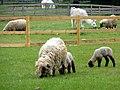 Sheep and Llamas at Mudchute Farm, Isle of Dogs - geograph.org.uk - 1705897.jpg