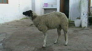 Listeriosis in animals - Encephalitic form in a female sheep