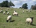 Sheep herd at The Weir - geograph.org.uk - 545547.jpg