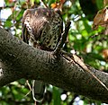 Shikra (Accipiter badius) with a Garden Lizard W2 IMG 8979.jpg