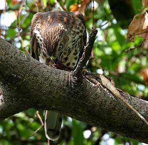 Shikra - Immature feeding on Calotes versicolor