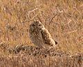 Short-eared Owl (32180800234).jpg