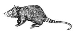 Shrew opossum - Caenolestidae.png