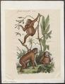 Simia satyrus - 1837 - Print - Iconographia Zoologica - Special Collections University of Amsterdam - UBA01 IZ19800041.tif