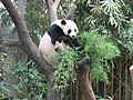 Singapore Zoo panda in tree.jpg