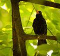 Singing blackbird (18075067689).jpg