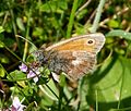 Small Heath. Coenonympha pamphilus - Flickr - gailhampshire.jpg