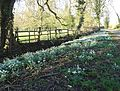Snowdrops by Minting Lane (geograph 4375161).jpg