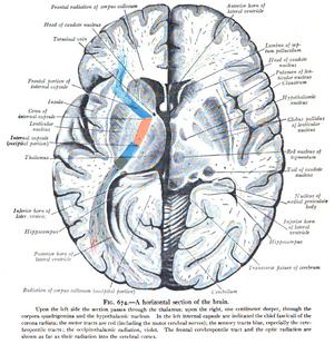 Corona radiata - part of corona radiata pathway on brain