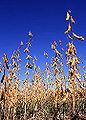Sojapflanze.jpg