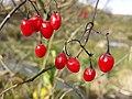 Solanum dulcamara sl8.jpg